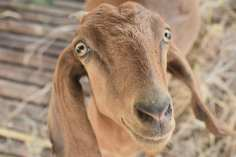Brownie: she is very nosey goat. She likes to sniff and follow you to see what you are doing. She loves food and will knock the smaller goats out the way so she can eat first.