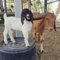 Curly: Brownies baby, curly is the craziest goat of them all. She adores people and will follow you around until you play with her. You'll probably find her eating your clothes.