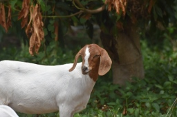 Dasie: Very sweet and quiet goat. She is best friends with Dam, Smudge and Curve. They sometimes like to bully the other goats together in a gang.