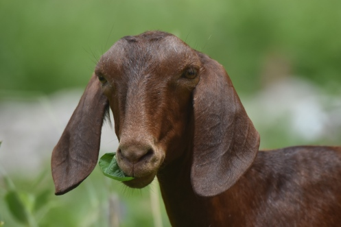 BB (Baby Brenda): Very tiny, skinny and cute. Although she is small, she as the3 personallity of a big goat. She will not let anyone bully her and she likes to play with Curly and Spot!
