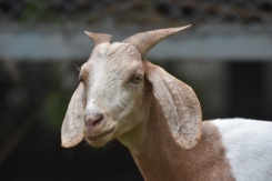 Peach: A very nervous goat, she doesn't really like to be near people. Her best friend is Coco as they were brought to our farm together.