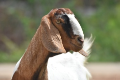 Amazon: Named because of her amazonian physique. She is giant! Head, body, hight and shes heavlily pregnant which makes her even bigger. She is twice the size of our male goat.